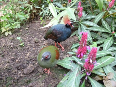rouloul-oiseau-naturospace-zoo-honfleur