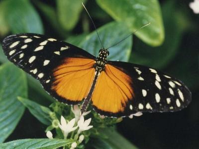 heliconius-hecale-costa-rica