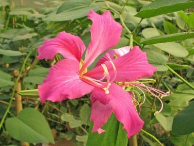 legu-bauhinia-arbre-a-orchidees-chine-naturospace-2011