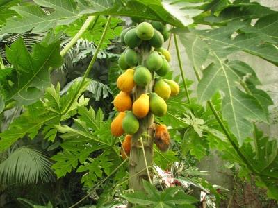 papayes-solo-(guyane)-serre-tropicale-honfleur.jpg